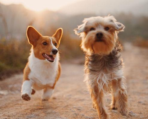 verzekering pup