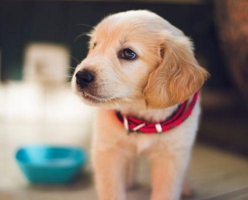 verzekering puppy